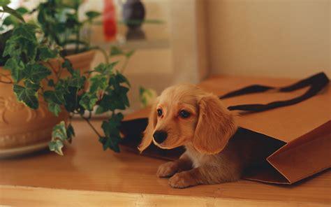 hd cute puppy wallpaper free download jpg desktop background cute dog wallpapers free download hd desktop wallpapers