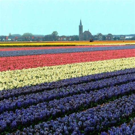 netherlands tulip fields beautiful tulip fields netherlands 34 pics curious