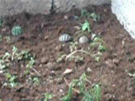 gabbia per tartarughe di terra le mie baby hermanni nel loro nuovo recinto