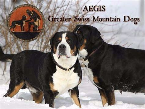 swiss mountain puppies for sale aegis greater swiss mountain dogs puppies for sale
