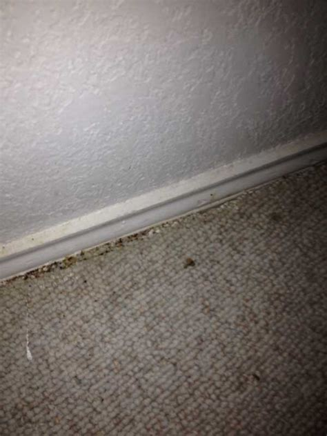 bed bugs extermination  removal  dallas fort worth