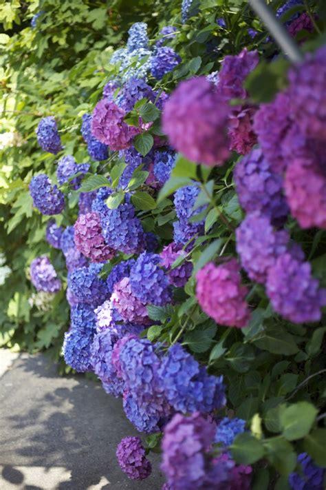 blumen pflanzen im garten mit hortensien akzente im garten setzen