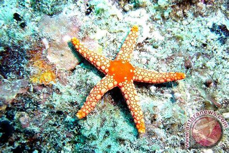 bintang laut ternyata buta warna antara news