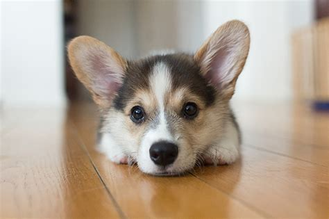 how much is a corgi puppy corgi puppies dogtime