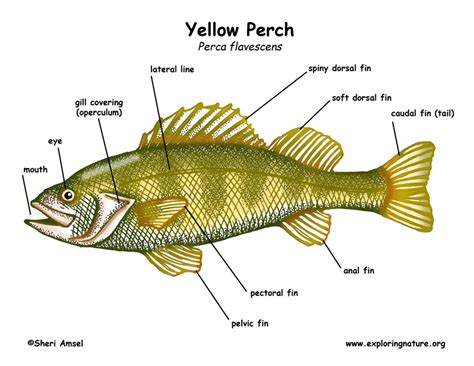 diagram of fish fish dissection diagram fish get free image about wiring