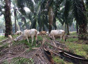 Pupuk Kandang Sapi Untuk Kelapa Sawit pemanfaatan lahan kelapa sawit untuk peternakan kelapa sawit
