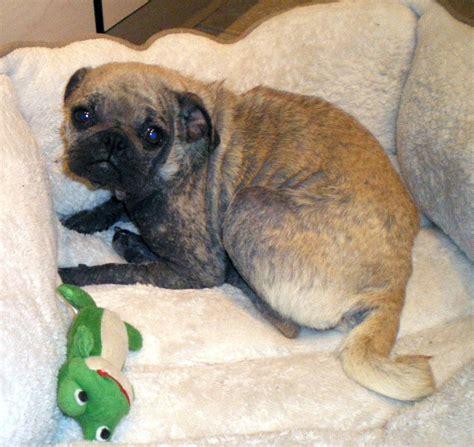 co pug rescue pug rescue photograph pug rescue san diego county welc