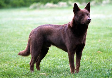 kelpie breed australian kelpie breeders puppies and breed information