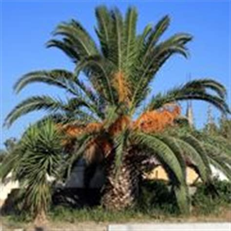 Good Tipi Di Palme Da Giardino #1: palma-pianta-_M1.jpg