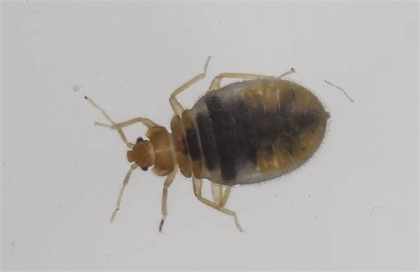 bed bug tape calif couple posts skin crawling video of bed bugs in nyc