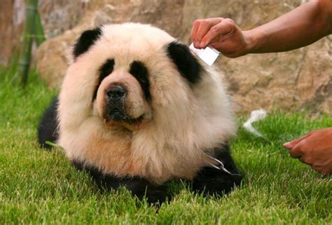 puppies that look like pandas panda quotes
