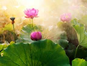 Symbolism Of The Lotus Symbolism Of The Lotus Flower Mind Fuel Daily