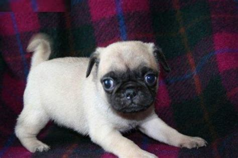 pug puppies for adoption uk pug puppies for adoption pets for sale in the uk