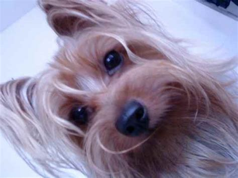 silky terrier yorkie mix silky terrier schnauzer mix breeds picture