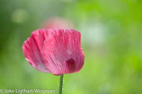 dennis smit bloemen blog archives joke ligthart wognum fotografie