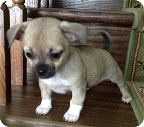 pug puppies md 25 best ideas about pug chihuahua mix on pug mix pug mixed breeds and
