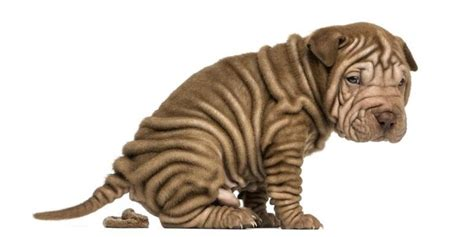 puppy has soft stool what are spirochetes bacteria in dogs cuteness