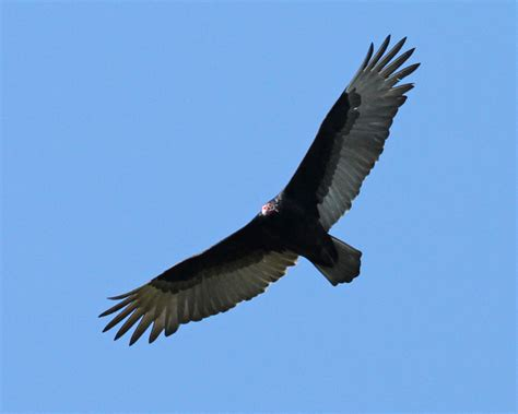 turkey vulture photos birdspix