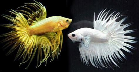 Jual Bibit Ikan Gurame Hias ikan hias jogja benih ikan air tawar gurame nila lele