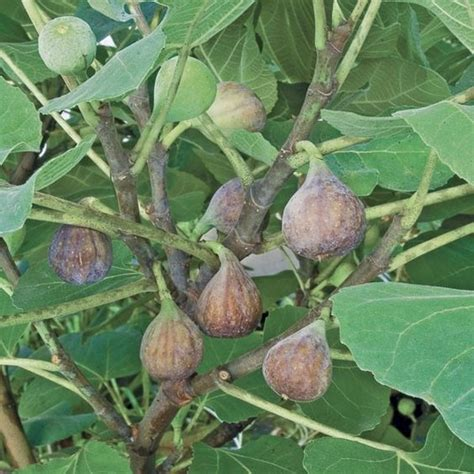 fruiting fig tree fig celeste ficus carica fruiting plants for