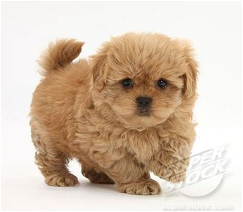 shih tzu peekapoo mix pekingese poodle mix what a fur dogs