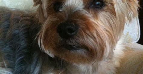 haircuts for yorkshire terriers with silky hair haircuts for yorkshire terriers with silky hair
