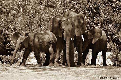 safari home decor wildlife elephant family parade across elephant family photograph by elizabeth abbott