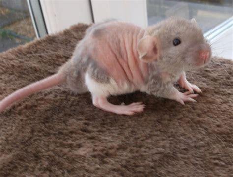 dumbo rex rats