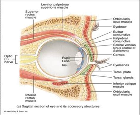 sagittal section of the eye powerpoint presentation