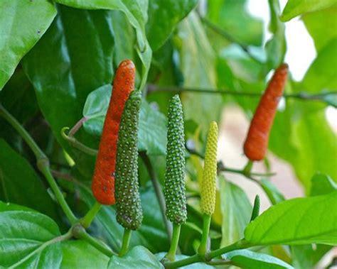 Cabe Jamu Cabe Jawa Pepper Cabe Puyang Asalan Murah top 12 health benefits of pepper