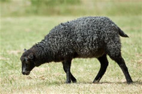 imagenes ovejas negras blancas la oveja negra es sola en el medio de las ovejas blancas
