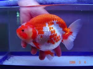 cara membuat obat bius untuk ikan obat untuk membuat warna ikan menjadi cerah dan menawan