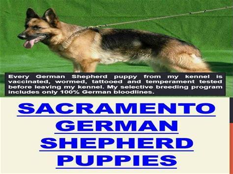 german shepherd puppies for sale sacramento sacramento german shepherd puppies authorstream