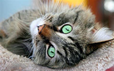 imagenes de ojos verdes de gatos gato de ojos verdes hd 1920x1200 imagenes wallpapers