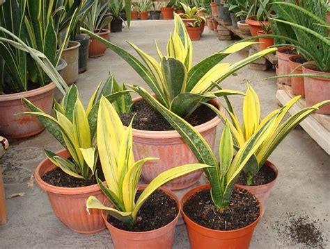 Tanaman Hias Ginseng Golden Kuning Variegata tanaman sansevieria gold bibitbunga