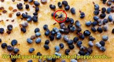 can dogs poppy seeds how to get rid of ticks mygermanshepherd org