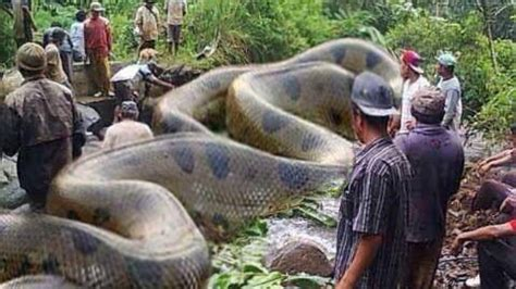 largest in the world nature the catch the snake in the world