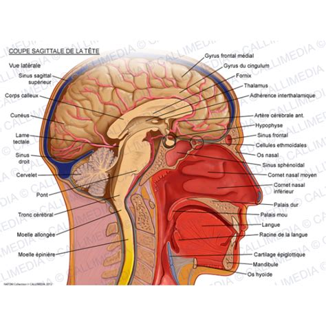 sagittal section of head image gallery sagittal section