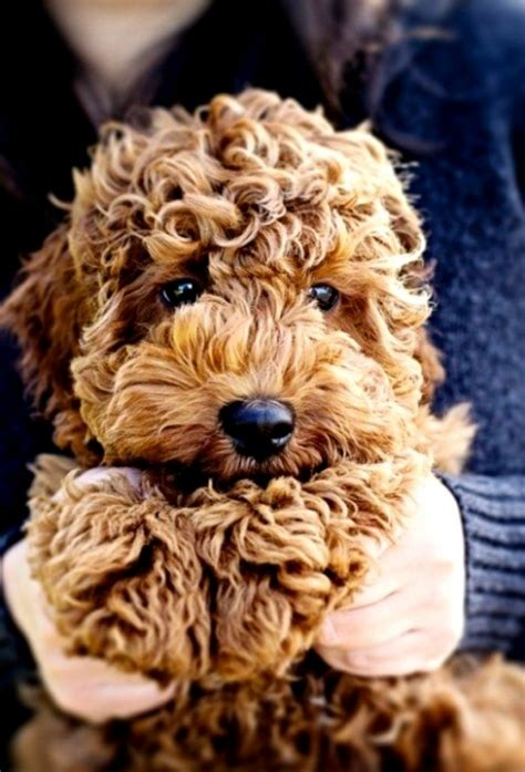 goldendoodle puppy help goldendoodle name cuteimages net