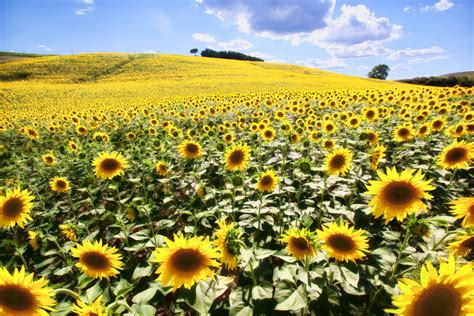 sunflower fields wining in tuscany among sunflower fields the wander life