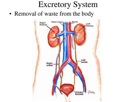diagram of excretory system excretory system diagram for anatomy organ