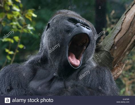 open wide see how a gorilla visits the dentist abc news yawning silverback male western lowland gorilla mouth