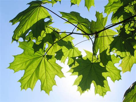 maple tree guide maple tree varieties information about maple tree identification
