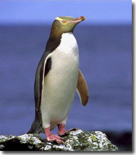 Yellow-Eyed Penguin | Animal Wildlife