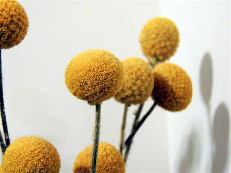 fiori a palla giallo billy palla fiori immagine gratis domain