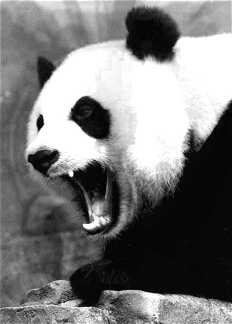 wallpaper black and white panda black and white angry panda by ducatideluxe on deviantart