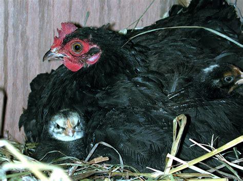 imagenes gallinas negras movimiento gallina feliz por una vida apacible en el