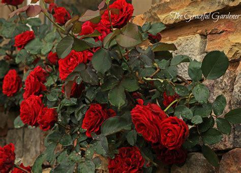 Archway Trellis The Graceful Gardener 187 Don Juan Climbing Rose