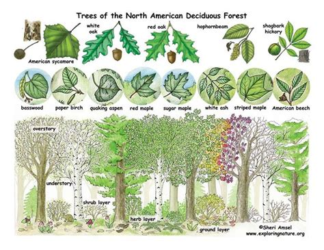 woodland forest plants and trees 37 best conversations on botany term 1 images on pinterest