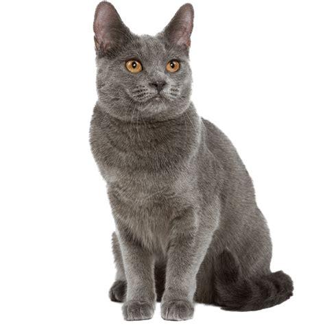 Cha T chat chartreux chat et chaton fiche de race du chat